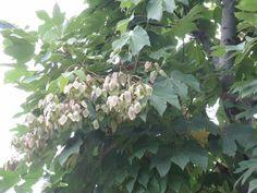 9月3日の誕生日の木は「アオギリ(青桐)」です。 アオイ科アオギリ属の落葉高木。原産地は中国および台湾。東アジア、東南アジアに広く分布しています。日本へは江戸時代の初期に中国から渡来しました。成長が早く、大きなものは樹高20m、幹の直径60cmにもなります。小枝は太く、樹皮は滑らかで緑色。名前の由来は、葉がキリに似ていて、樹皮が青緑色だからとか。 アオギリは裸子植物です。6~7月に枝先に大きな花の列をつけ、多数の淡黄色の小花を開きます。個々の花の列には淡黄褐色の雄花と雌花が多数つき、それぞれ特徴が解かりやすいため、裸子植物の教材に適した木とされています。実は10月ころに熟し、種は炒ると食べられます。 アオギリの樹皮繊維は強くなめらかなことから、縄、布、馬具、ムシロの原料にされ、また樹皮に含まれる粘性物質は和紙製造の製紙糊料や洗髪料に使われていました。