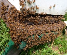 Bees 'Bearding' on a hot Summer evening. A way to cool themselves and the hive. Honey Bee Hives, Honey Bees, Bee Activities, Bee Facts, Beekeeping For Beginners, Raising Bees, Bee Swarm, Bee Boxes, Bee Do