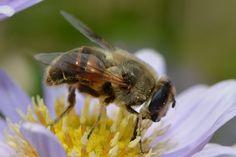 Happy, hungry bee!