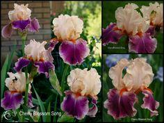 Tall bearded iris CHERRY BLOSSOM SONG
