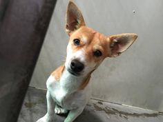 #A475625 Release date 11/15 I am a male, red and white Chihuahua - Smooth Coated. Shelter staff think I am about 2 years old. I have been at the shelter since Nov 10, 2014. City of San Bernardino Animal Control-Shelter. https://www.facebook.com/photo.php?fbid=10203928609633190&set=a.10203202186593068&type=3&theater