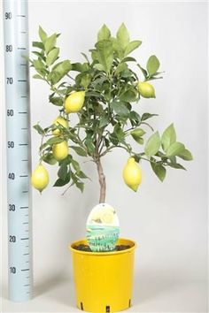 Unique gifts Divine Valentines flowers and Plants gift delivery, we will send a gift for you or to your beloved can be gift packed and we can add a card with / without your message. Fantastic plants Range, Olive plants, Bay plants, exotic flowers, citrus and lemons, Superb valentines gift for men and women. Take a look. Satisfaction guaranteed, (Superb Lemons with large yellow lemons on - 3-12 lemons on it !) by Best4garden…