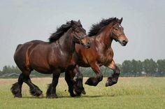 Belgian draft horses, known as Cheval de trait Belge, Brabançon, and Belgisch Trekpaard