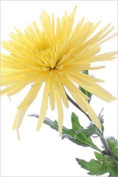 Yellow Mum Flower Fresh Flowers, Yellow Flowers, Beautiful Flowers, Mums The Word, Pastel Yellow, Favorite Color, Favorite Things, 2 Colours, Mum Flower