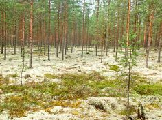 Helppokulkuista maastoa retkeilyyn - Oulujärven retkeilyalue metsä mäntymetsä…