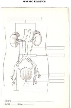 sistema circulatorio para colorear - Buscar con Google