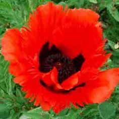 www.rustica.fr - Choisir sa variété de pavot d'Orient - 'Mary Finan'