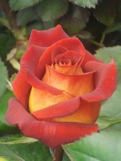 If I could find this rose, I would buy it and plant it.Have never seen this exact Rose and it is Lovely and my mother's name ~She would have loved it. Love Rose, Pretty Flowers, Orange Roses, Red Roses, Beautiful Roses, Beautiful Gardens, Rose Foto, Coming Up Roses, Geraniums
