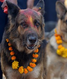 After being covered with vermillion on their foreheads, Nepalese police dogs stand proudly at the Tihar festival in Kathmandu as they become blessed. It is customary in Nepal for people to offer blessings to dogs, which are the messengers  of Yamaraj, according to Hindu tradition.