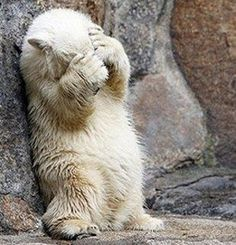 Polar bear.  Ready or not...here I come!