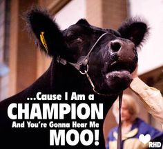 """A different take on Katy Perry's """"Roar""""! Livestock motivation by Ranch House Designs. #livestockmotivation #stockshowlife #showtowin"""