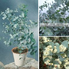 Compare Prices on Eucalyptus Trees- Online Shopping/Buy Low Price ...