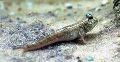 Indian dwarf mudskipper fish is new arrival at Blue Planet Aquarium