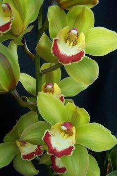 Orquideas verdes
