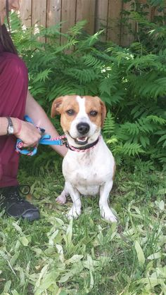 Found Dog - Beagle - Richmond Hill, ON, Canada L4C 6R7 on June 19, 2014 (13:00 PM)
