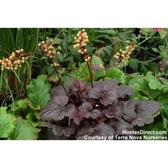 Make a statement in your garden with the dazzling foliage color, texture and shapes Heuchera perennials provide. Shop for your plants from Bluestone Perennials. Shade Garden, Garden Plants, Outdoor Plants, Yellow Flowers, Colorful Flowers, Coral Bells Heuchera, Black Leaves, Hardy Perennials, Flower Spray