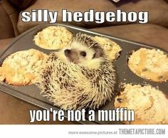 :) bigger question: why would you let your pet hedgehog crawl into a pan full of muffins???