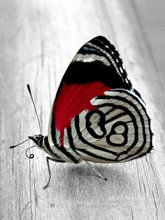 stunning red black and white Butterfly