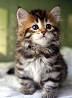 Pet's World: Top 5 Cute Cat Breeds For Families