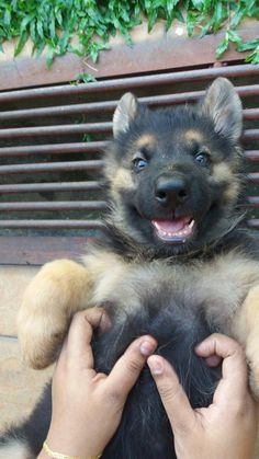 This little TICKLE MONSTER. | 18 German Shepherd Puppies Who Need To Be Snuggled Immediately
