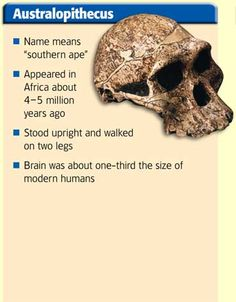 Australopithecus: Pictured is a skull and a list of bullet points about Australopithecus. ''southern ape.'' It appeared in Africa about 4-5 million years ago. It stood upright and walked on two legs. Its brain was about one-third the size of a humans. The skull is brownish color with eye sockets and a nose socket. Credit: © Pascal Goetgheluck/Photo Researchers, Inc.