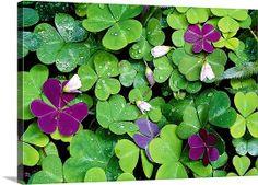 Sorrel Plant, Wood Sorrel, Wild Edibles, Woodland Garden, Medicinal Plants, Native Plants, Botanical Art, Trees To Plant, Wall Decals