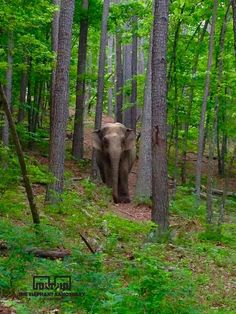 Elephant Sanctuary in Tennessee. Asian Elephant, Elephant Love, Elephant Art, Elephant Nature Park, Elephant Sanctuary, All About Elephants, Save The Elephants, Baby Animals, Cute Animals