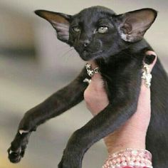 Oriental shorthairs are my favorite.  Can you see why?