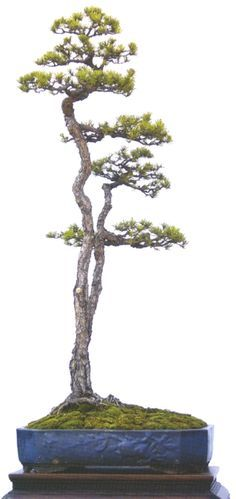A truly beautiful literati penjing from Zhao Qingquan's new book, Literati Style Penjing. Multitrunk trees are always inspired by a family relationship - this one immediately makes me think of a child peering shyly around it's mother's skirts.
