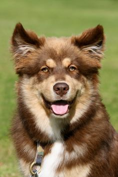 Finnish Lapphund. Same markings as our dog Bruno