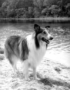 Even Lassie enjoys a Florida vacation. (1965) | Florida Memory