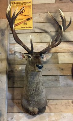 Trophy head red stag, Shouldermount red stag, Mounted deer head - Shouldermounts Stuffed head. Hunting trophy animals. Taxidermy - De Jachtkamer