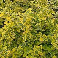 Perennial Garden Plans for Partial Sun or Shade Sun Plants, Fall Plants, Shade Plants, Garden Plants, Shade Evergreen Shrubs, Evergreens For Shade, Partial Shade Perennials, Best Perennials, Perennial Garden Plans