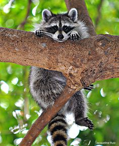 Photo of the Week: Louisiana resident Jacqueline Ruiz photographed this raccoon hanging on while hiking on a mangrove trail in south Florida.