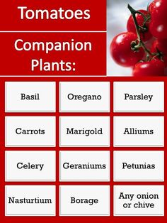 (link) Companion Plants for Tomatoes ~ plants that help tomato in a myriad of different ways. Each has its unique benefit: Basil attracts butterflies & repels other pests. Oregano repels aphids. Carrots attract insects beneficial to the garden particularly the tomato (See more Carrot Companions) Onions/Chives repel pests. Many of the companion plants help by repelling pests. ~ for more great PINs w/good links visit @djohnisee ~ have fun!
