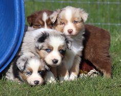 Available Puppies - Faithwalk Aussies