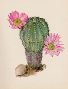 Antique Botanical Print Cactus Print Vintage Cactus Illustration Pink Flower Wall Art Cottage and Desert Decor Gift for Gardener - Kaktus - Cactus Drawing, Cactus Painting, Plant Drawing, Cactus Art, Cactus Flower, Flower Art, Cactus Plants, Cacti And Succulents, Flower Prints