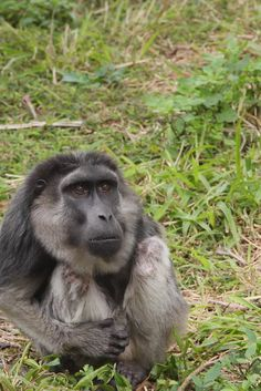 A Rare Moor Macaque. (摩爾猴), (Macaca maura.) Endemic to Sulawesi, with only 1,000 left in the wild: Endangered due to deforestation and habitat loss.