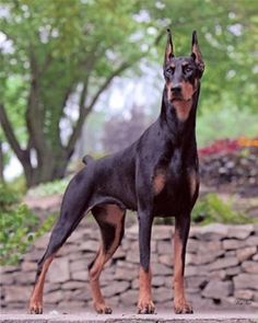 love this dog, though it is bigger than me! definitely looking at a Doberman for a very near future possibility for a doggie<3