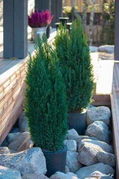 Cypress in pots. Large rock beds.
