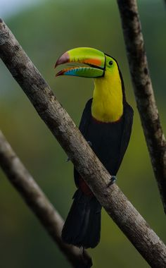 Keeled-billed Toucan by Myer Bornstein, via 500px