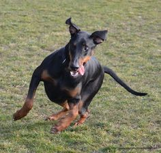 Silly Doberman. April 2012. original photography by Maria Firkaly