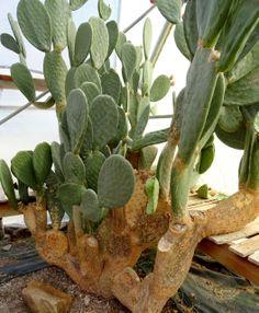 ♕cactus - opuntia