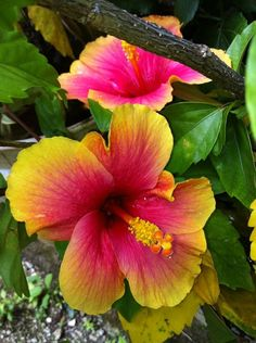 colorful hibiscus It's simple....but I want to see one of these  flowers in person
