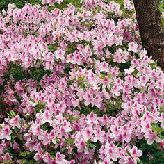 Azaleas Made Simple  Here's everything you need to know about growing the South's favorite shrub.