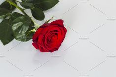 Red rose on a white background, natural light, Macro