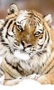 Top Android Tiger HD LWP Lite – Tiger HD LWP Lite Free Download