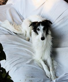 Silken Windhound Loki by Kent and Jay, via Flickr