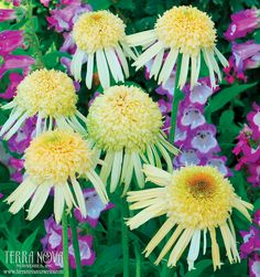 Echinacea 'Secret Joy' - Arising like comets in the summer garden, features pale yellow, double flowers that are a delight to the senses. These fragrant gems make excellent cut flowers. Use en masse for the border or in a mixed bed.