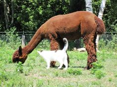 Another really neat picture of a barn cat hanging around with her alpaca friends. Photo: Pam Welty